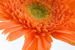 Orange wave. Orange gerbera, macro Royalty Free Stock Photos