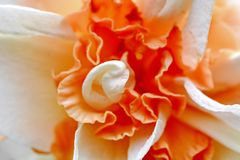 Orange weiße Blumen-Narzissen-Hintergrund lizenzfreies stockbild