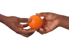 ORANGE WEIGHT TEST. Two hands of fruit expert testing together the weight of a ripe orange on a white background to specify its variety before its marketing royalty free stock photography