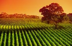 Orange Weinberg Stockfoto