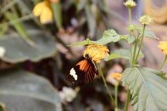 Butterfly on a yellow flower. Orange whit black butterfly on a yellow flower stock images
