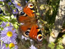 Orange White and Black Butterfly Perched on Flower Royalty Free Stock Images