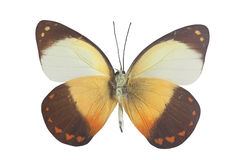 Orange white black and yellow butterly Stock Photos