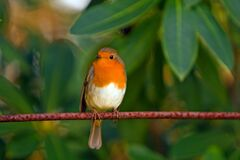 Orange White Brown Bird on Top of Red Branch Stock Images