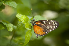 Orange, white and brown butterfly Stock Photography