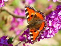 Orange White and Brown Butterfly on Pink Petal Flower Stock Photo