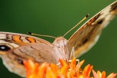 Orange and White Butterfly on an Orange Flower. Orange, and White Butterfly on an Orange Flower with it's wings spread and a nice green background Stock Photo