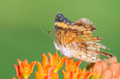 Orange and White Butterfly on an Orange Flower. Orange, and White Butterfly on an Orange Flower with it's wings spread and a nice green pastel background Stock Images