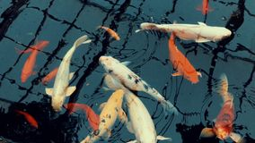 Orange and white carp fish are swimming in the pond. Coming to the surface to breathe stock video