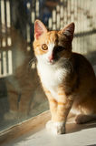 Orange and White Cat Royalty Free Stock Images