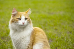Orange white cat Royalty Free Stock Photo