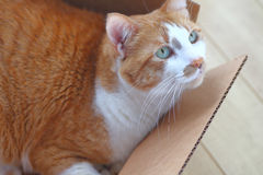 Orange and white cat in a box Royalty Free Stock Photography