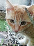 Cat. Orange and white cat with brown eyes stock images