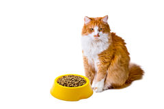 Orange and white cat with cat food Royalty Free Stock Image