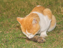 Orange and white cat eating a mouse Royalty Free Stock Photography
