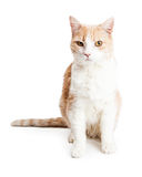 Orange and White Cat Full Length on White Stock Photography