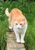 Orange and white cat Stock Images