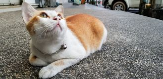 This orange and white cat lays down on the street and look up something. Wondering orange and white colour cat lays down on the street and gazing something royalty free stock image