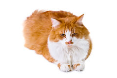 Orange and white cat lays Royalty Free Stock Photography