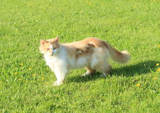 Orange and white cat Royalty Free Stock Photo
