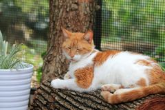 Orange and white cat resting on log. Portrait of orange and white domestic short-haired cat resting on log at home garden. outdoors. natural sunlight Stock Photo