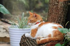 Orange and white cat resting on log. Portrait of orange and white domestic short-haired cat resting on log at home garden. outdoors. natural sunlight Royalty Free Stock Photography