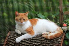 Orange and white cat resting on log. Portrait of orange and white domestic short-haired cat resting on log at home garden. outdoors. natural light Stock Images