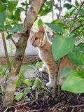 Orange cat. Orange and white cat through the tree of green leaves royalty free stock photo