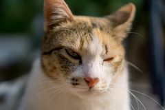 Orange and white Cat with unequal eyes gazing something. Close up on his face royalty free stock images