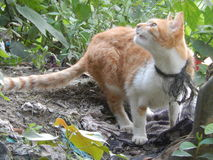 Mouse- hunt in unsanitary environment. Combinedwhiteandorangecolor cat, wentwild,huntingvermins,sharpeyes,alertcat Stock Photo