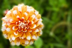 Orange white dahlia ball fresh flower details macro photography with green out of focus background. Photo emphasising intricate texture pattern of this royalty free stock image