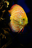 Orange with white diskus fish swims deep Royalty Free Stock Photography