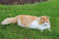 Orange and white domestic longhair cat in the grass Royalty Free Stock Photo