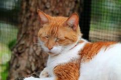Orange and white domestic shorthaired cat portrait Stock Photo