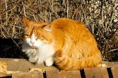 orange white för katt Arkivbild