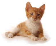 orange white för kattunge Royaltyfri Fotografi