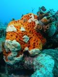 orange white för korall Arkivfoto