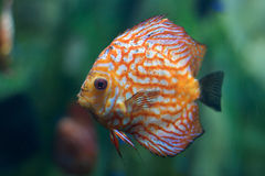 Orange-White Fish. Fish swimming in water in Georgia Aquarium Stock Photography