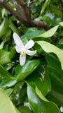 Orange white flower on tree. White and yellow orange flower on tree Stock Photo
