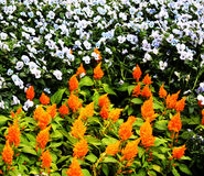 Orange and white flowers Royalty Free Stock Photo
