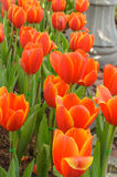 Orange and white flowers Tulip beautiful flowers in the garden n Stock Photo