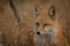 Orange and White Fox Near Brown Grass Stock Images