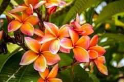 Orange and white frangipani plumeria flower blossom. Orange and white tropical frangipani plumeria flower blossom Stock Photo