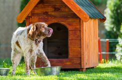French Brittany Spaniel in front of his little wooden house Stock Photos