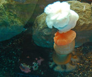 Orange  and White frilly sea anemones at the Seattle Aquarium Royalty Free Stock Image