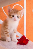 Orange and white kitten with flower. Orange and white striped kitten sitting with red flower Stock Image