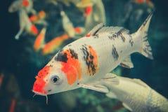 Orange-white Koi carp Stock Photography