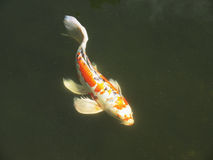 Orange and White Koi Royalty Free Stock Images