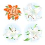 Orange & white lilies set royalty free illustration