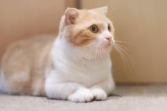 short legs Little cute cat royalty free stock photos